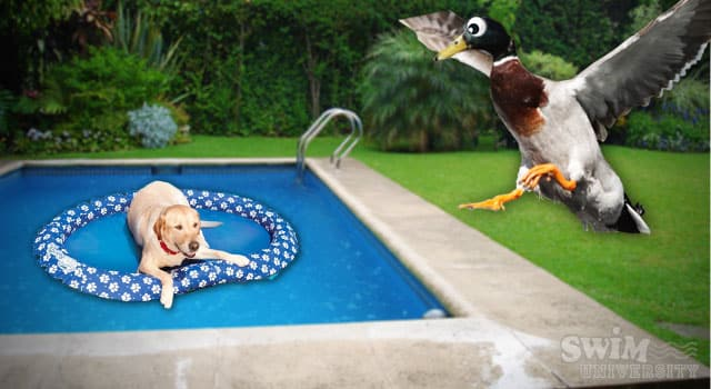 Keep Ducks Out With a Dog